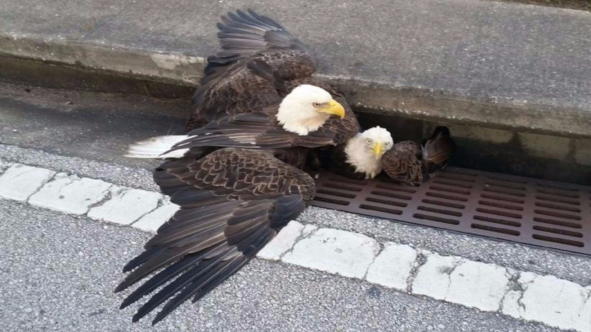 Anatomy Of A Sign Two Bald Eagles Fighting For Territory New Vision